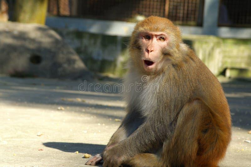 urocza małpia twarz zdjęcia stock