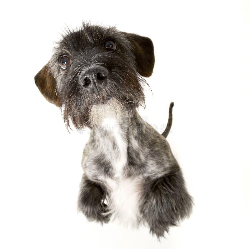 Urocza mieszana trakenu psa pozycja na dwa nogach obraz stock