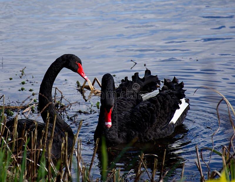 Urocza para czarni łabędź unosi się na jezioro powierzchni zdjęcia stock