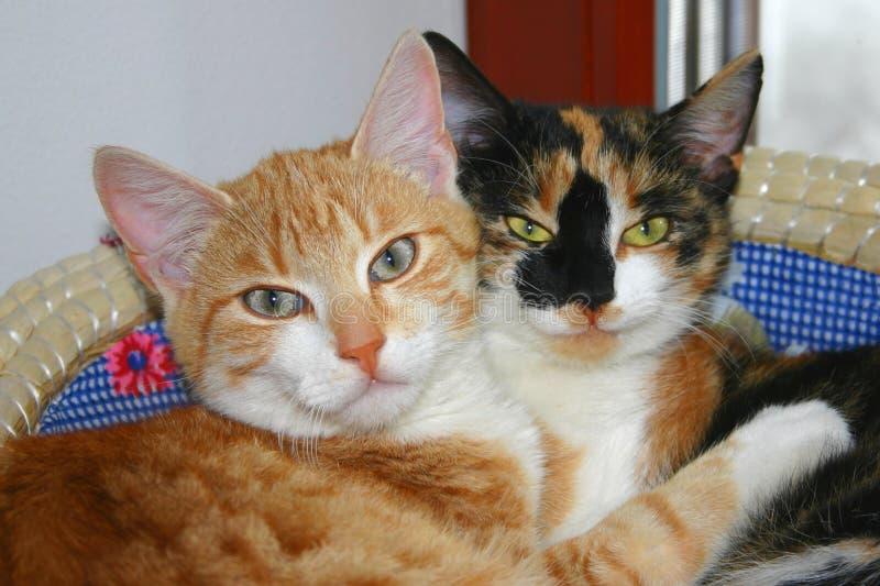 Urocza scena - dwa kota są w uściśnięciu w ich łóżku Ja jest ślicznym fotografią z pojęciem miłość lub przyjaźń obraz stock