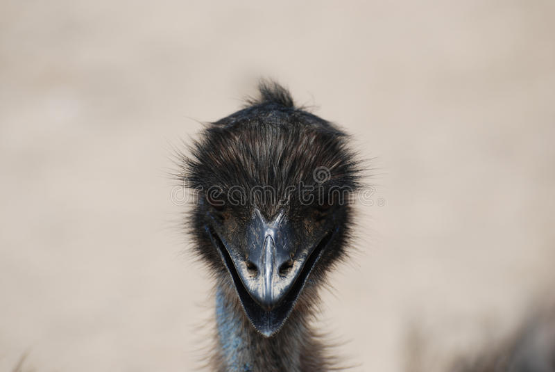 Urocza twarz emu z Czarnymi piórkami obraz stock