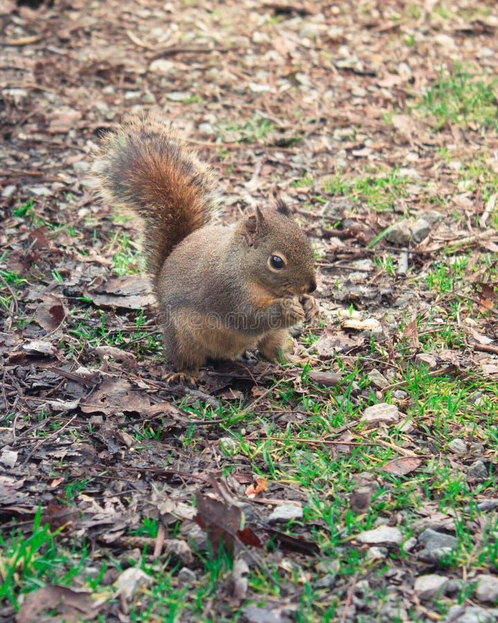 Urocza wiewiórka w jesień parka środka strzale obrazy royalty free