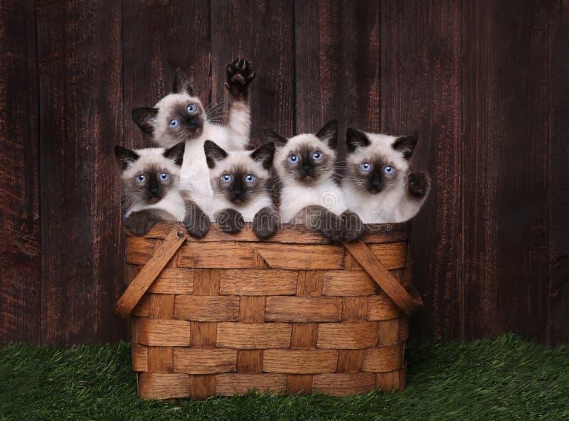 Urocze Syjamskie figlarki w koszu fotografia royalty free