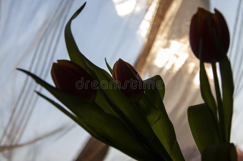 Urocze sylwetki kwiatów tulipany czerwień i żółty kolor 1 ?ycie wci?? r zdjęcia stock