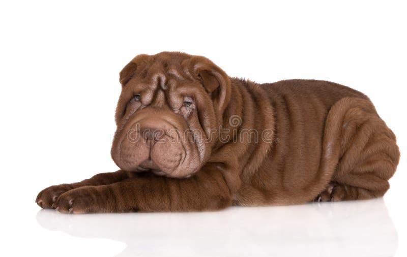Uroczego brown shar pei szczeniaka łgarski puszek fotografia royalty free