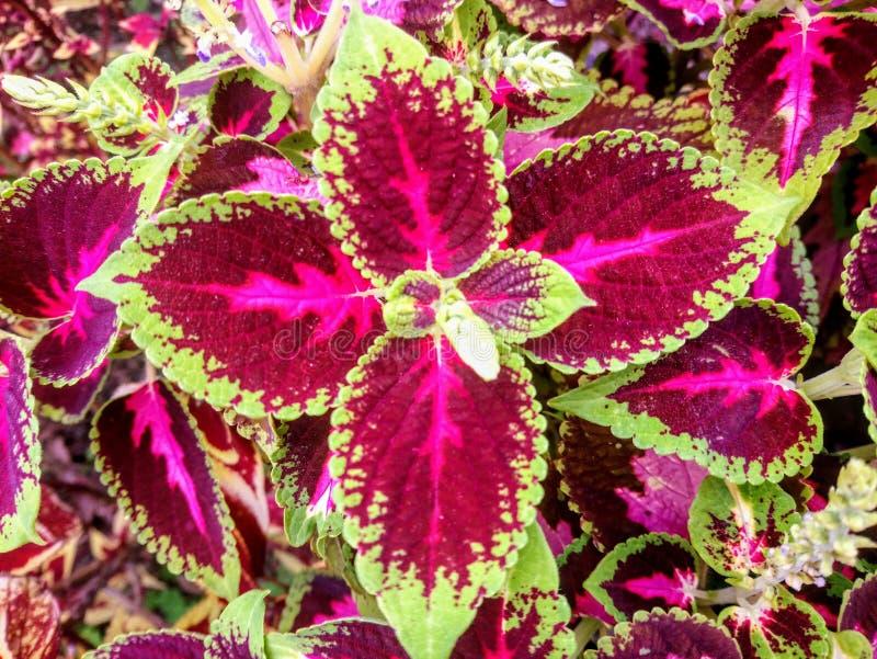 Uroczego Coleus Kong ulistnienia Czerwona roślina zdjęcia stock
