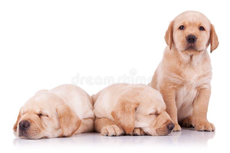 uroczego labradora mały szczeniaków aporter trzy fotografia stock