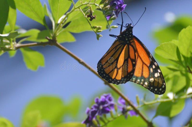 Uroczego namiestnika Motyli latanie Wokoło W naturze zdjęcia stock