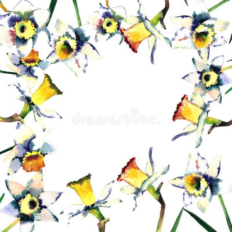Uroczej czułej wiosny piękni daffodils w ramie na białej tło akwareli ilustracji