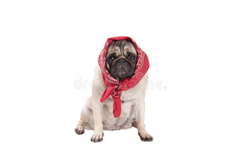 Uroczy śliczny mopsa psa szczeniak z zachodnim szalikiem wokoło głowy, patrzeje jak babushka, odizolowywający na białym tle fotografia stock