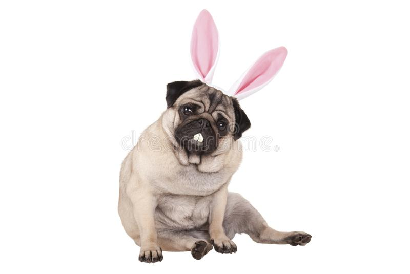 Uroczy śliczny mopsa szczeniaka psa siedzący puszek z Easter królika zębami i ucho obrazy stock