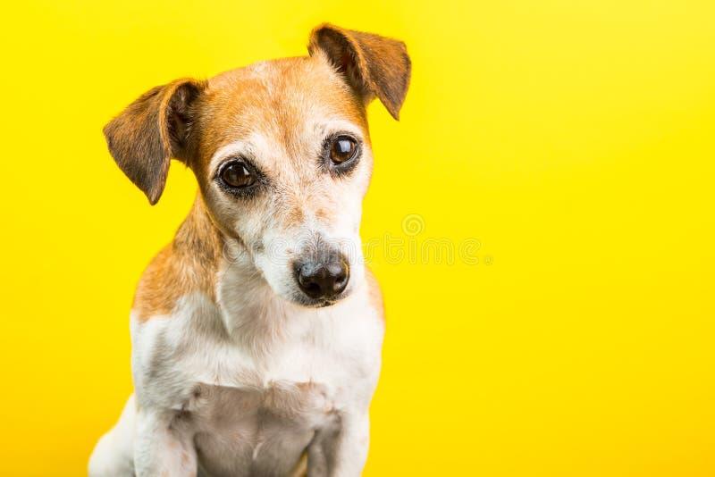 Uroczy śliczny pies na żółtym tle fotografia royalty free