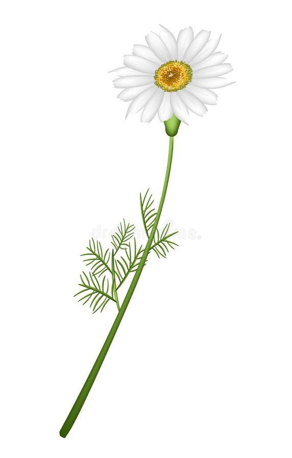 Uroczy Świeży Chamomile kwiat w Białym tle ilustracji