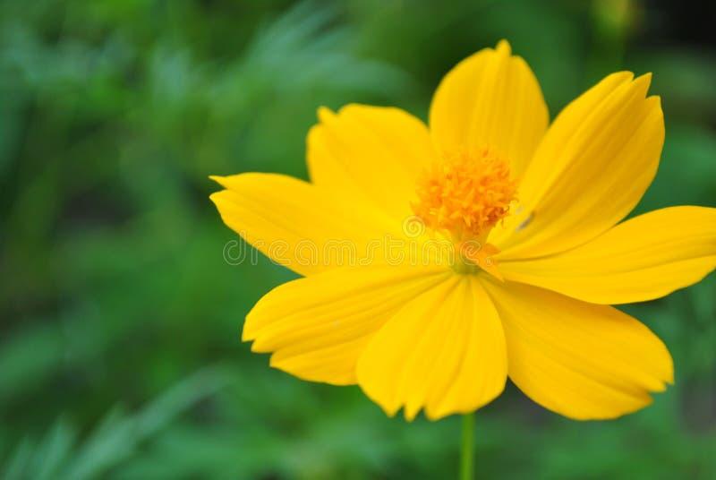 Uroczy żółty kosmosu kwiat fotografia royalty free