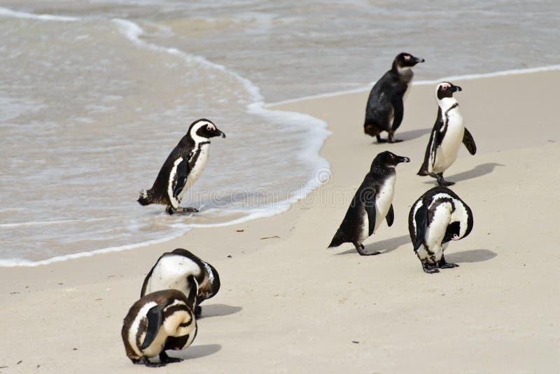 Uroczy Afrykańscy pingwiny zdjęcia stock