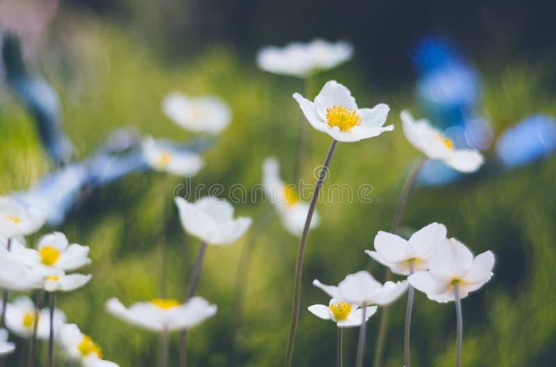 Uroczy anemonowi kwiaty na pięknym tle z miękką ostrością Selekcyjna ostrość zdjęcia royalty free