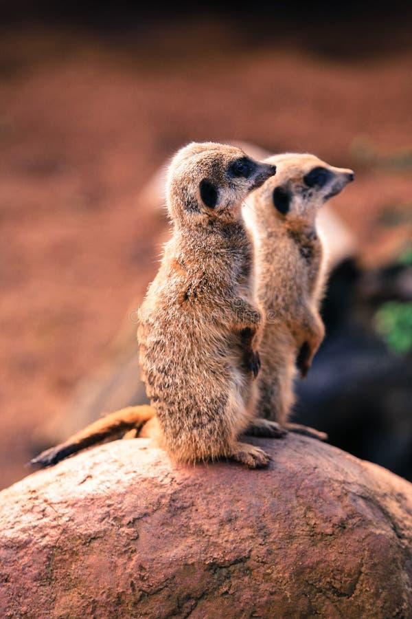 Uroczy australijski meercat, czuwający i czujny zdjęcia royalty free