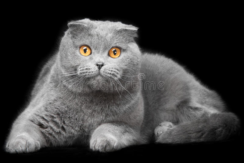 Błękitny szkocki fałdu kot na czarnym tle fotografia royalty free