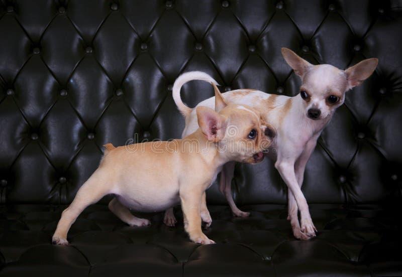 Uroczy bawić się postępować francuskiego buldoga i chihuahua psy na b obrazy stock