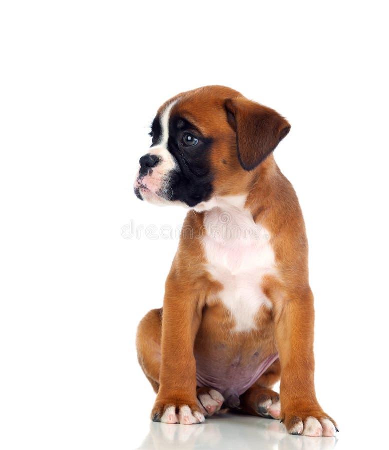 Uroczy boksera szczeniaka obsiadanie zdjęcia stock