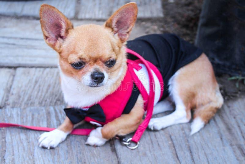 Uroczy brązu chihuahua jest ubranym czarnego łęk siedzi na podłogowym tle kolorową różową koszula i, fotografia stock