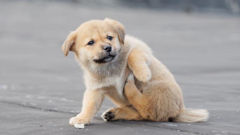 Uroczy brązu szczeniaka psa narys świąd swój nogą, śmieszny wyrażenie fotografia stock