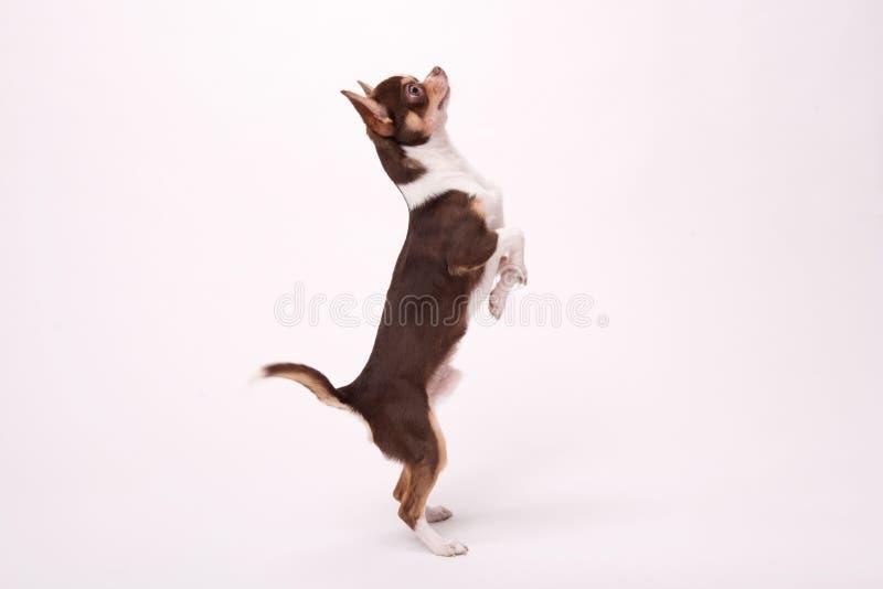 Uroczy chihuahua szczeniak na białym tle obraz stock