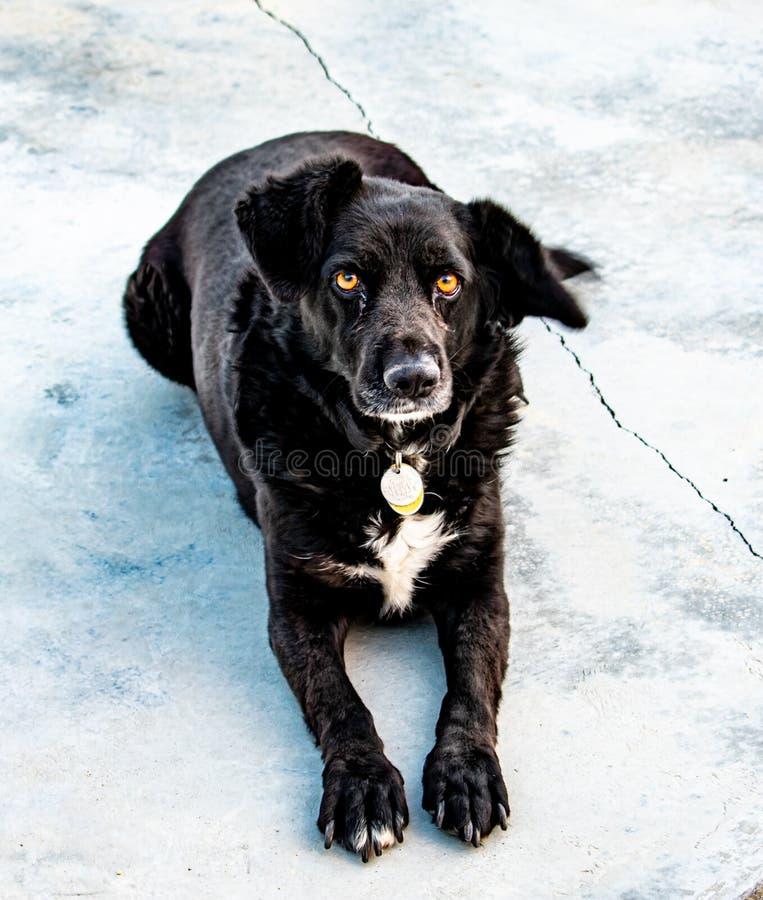 Uroczy Czarny pies Odpoczywa na bruku obraz stock