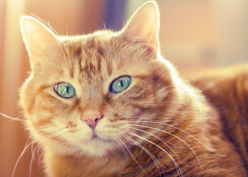 Czerwony kot. zdjęcie royalty free