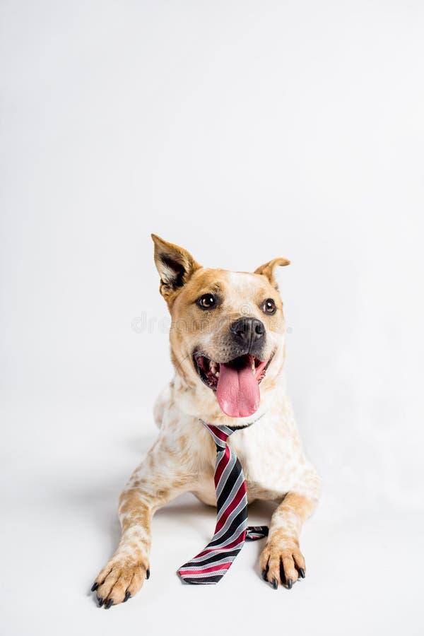 Uroczy Duży pies Z krawatem obrazy royalty free