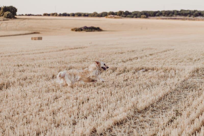 Uroczy i śmieszny golden retriever psa bieg w koloru żółtego polu przy zmierzchem Piękny portret potomstwo pies Zwierzęta domowe  zdjęcie royalty free