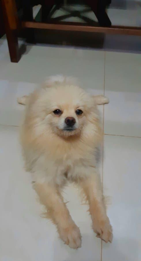 Uroczy i dosyć biały puszysty pomorzanka pies obrazy royalty free