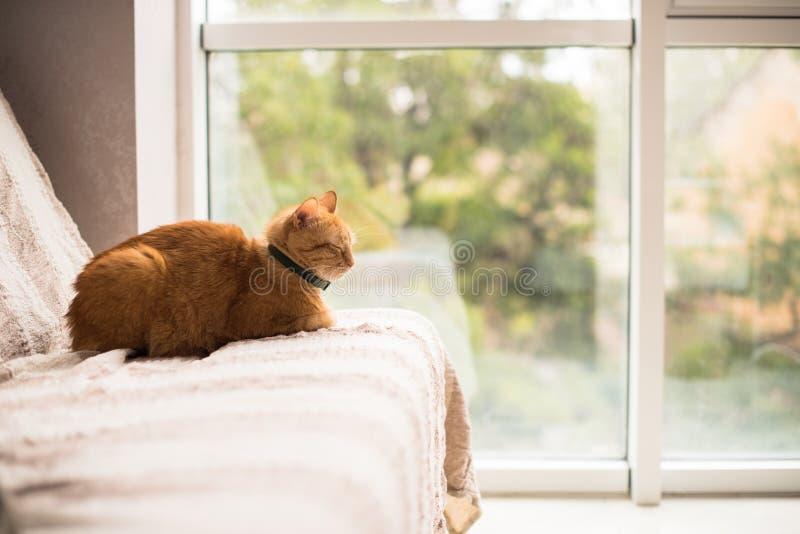 Uroczy imbirowy kot na kanapie okno obraz royalty free