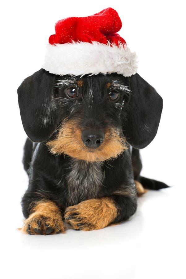 Uroczy jamnik z Santa kapeluszem zdjęcia stock