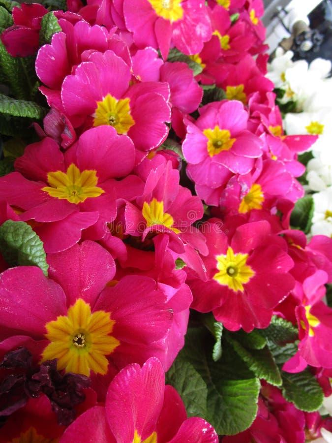 Uroczy jaskrawi różowi wiosna kwiaty zamknięci w górę zdjęcia royalty free