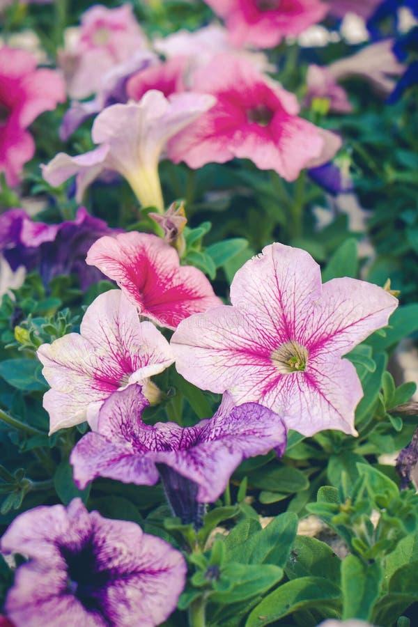 Uroczy kolorowi petunia kwiaty i zielony foilage zdjęcie royalty free