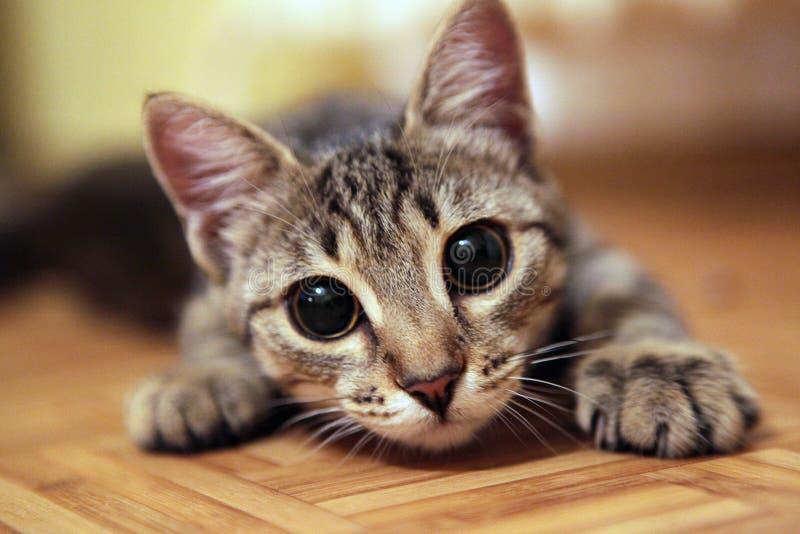 Uroczy kot patrzeje kamerę z dużymi oczami obraz royalty free