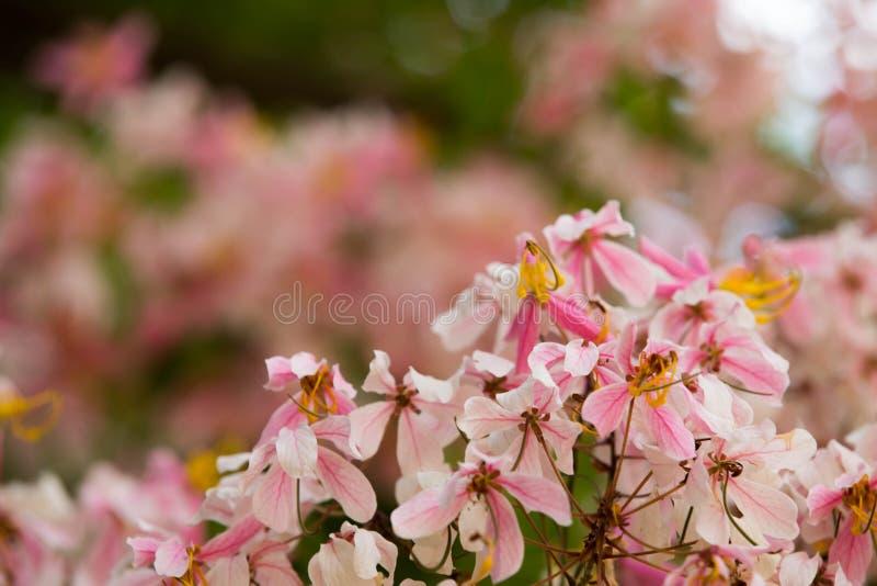 Uroczy kwiaty kasi bakeriana zdjęcie stock