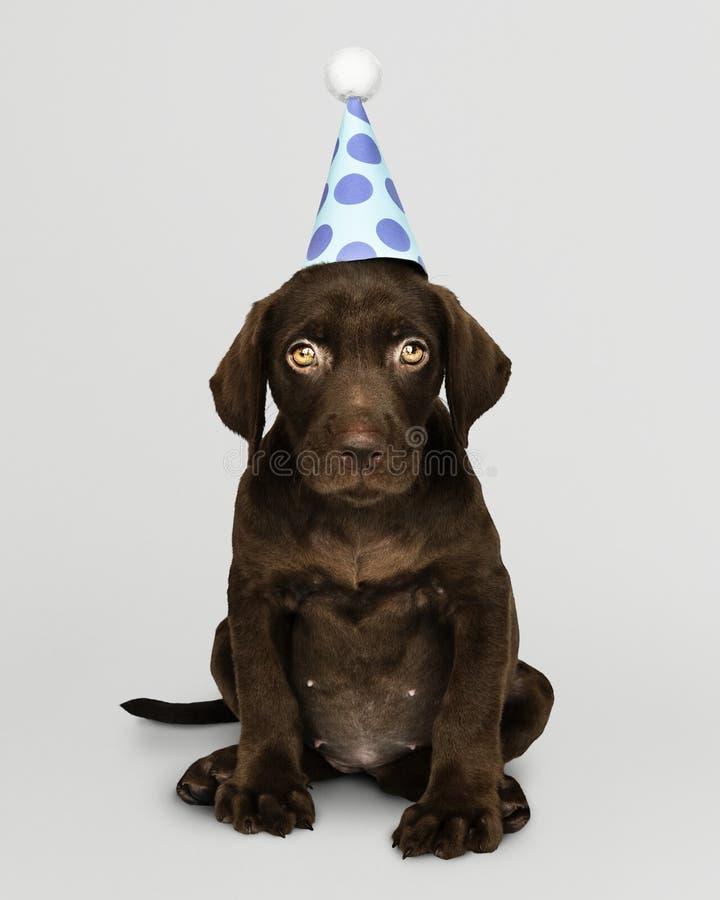 Uroczy Labrador Retriever szczeniak jest ubranym partyjnego kapelusz fotografia stock
