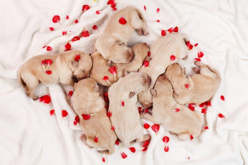 Uroczy labradora szczeniaka psy śpi w rozsypisku wśród kwiatu pe, zdjęcie royalty free
