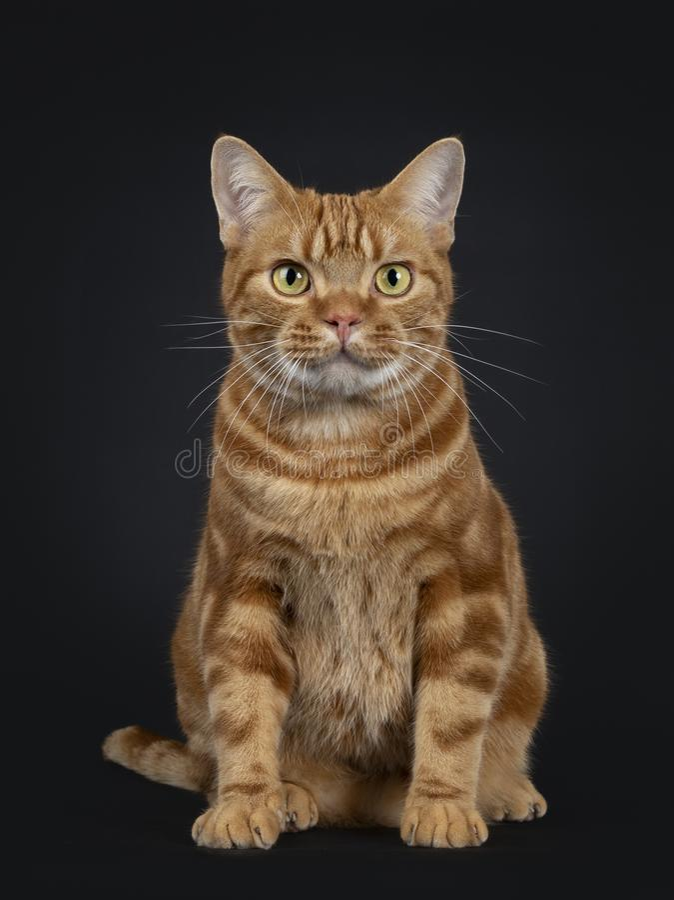 Uroczy młody dorosły czerwony tabby amerykanina Shorthair kot, Odizolowywający na czarnym tle obraz stock