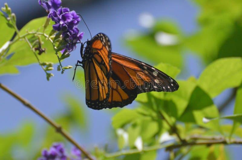 Uroczy namiestnika motyl na Pięknym wiosna dniu zdjęcia royalty free