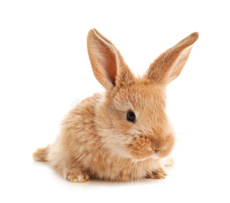 Uroczy owłosiony Wielkanocny królik fotografia royalty free