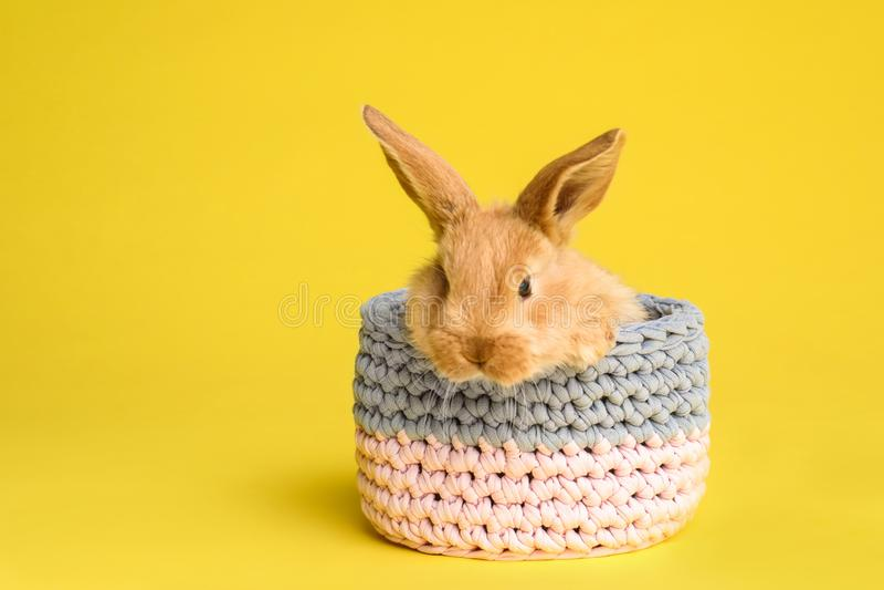 Uroczy owłosiony Wielkanocny królik w koszu na koloru tle obraz stock