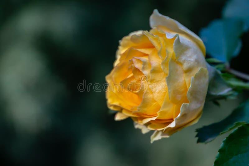 Uroczy pączek czuła kolor żółty róża z wiele płatkami Kwitnie na dobrze przeciw tłu zamazany szmaragd zdjęcie stock