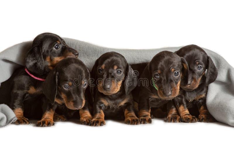 Uroczy pięć jamników szczeniaków spojrzeń spod za miękkiej części grżą koc Wygrzewa się w łóżku Chować od zimna fotografia stock