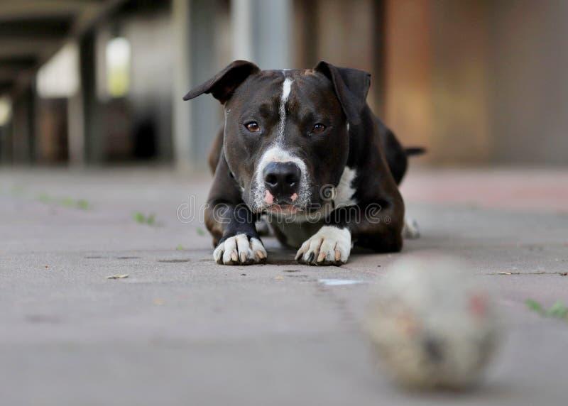 Uroczy pies, Amerykańskiego Staffordshire terier obrazy stock