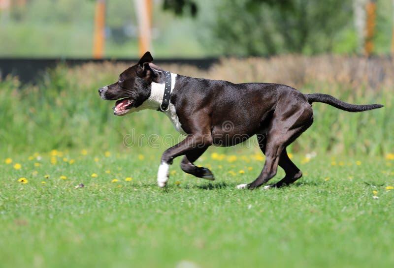 Uroczy pies, Ameryka?skiego Staffordshire terier zdjęcie royalty free