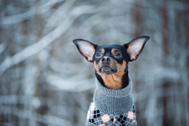 Uroczy pies w pulowerze w zima lesie zdjęcie royalty free