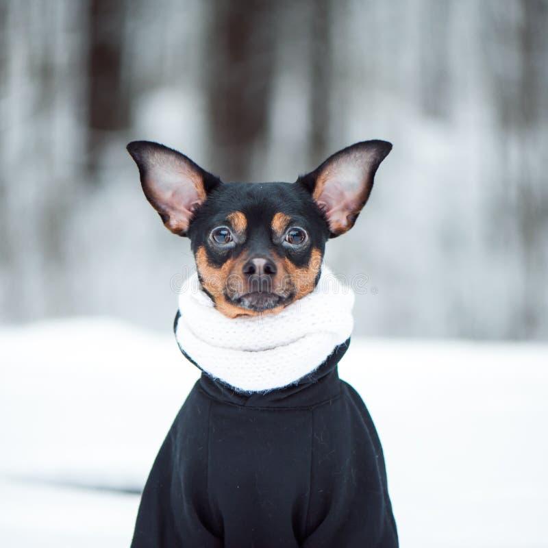 Uroczy pies w szaliku i pulower w zima lesie Obciosujemy f zdjęcia stock